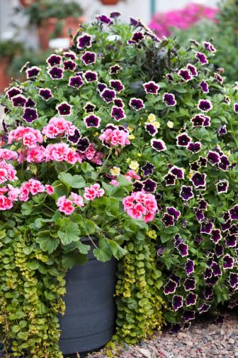 Härlig kombination av utplanteringsväxter.