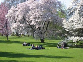 Körsbärsblom i Göteborgs botaniska trädgård