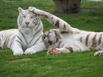 Vita tigrar på Junsele Djurpark