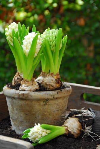 Hyacint vår