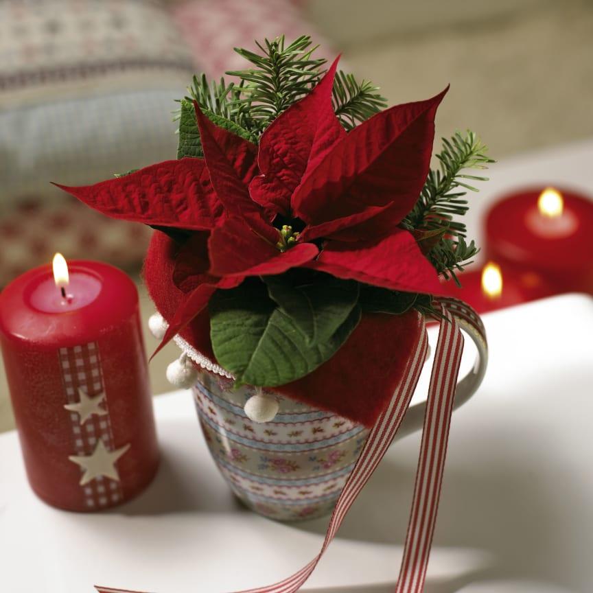 Julstjärnans dag - 12 december