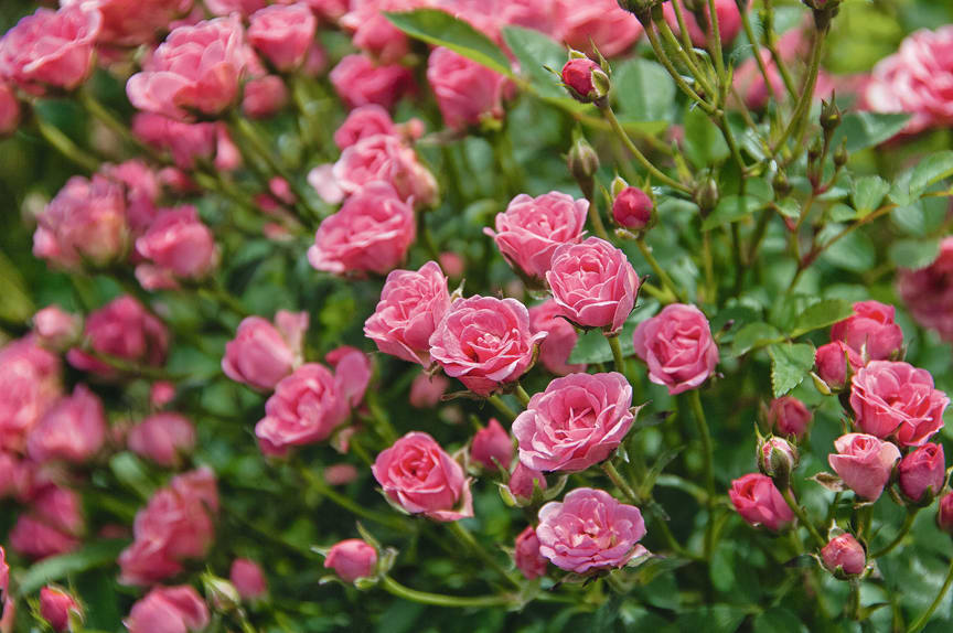 Ros Lilly Rose Wonder