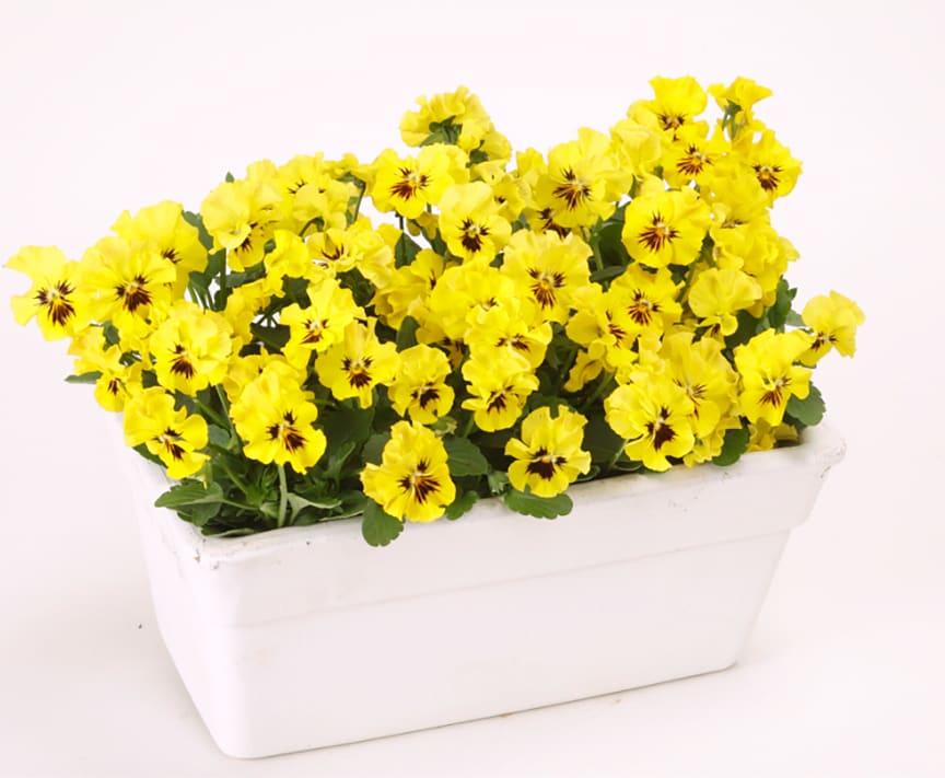 Viola-wittrockiana-Frizzle-Sizzle-Mini-Yellow_34679_3