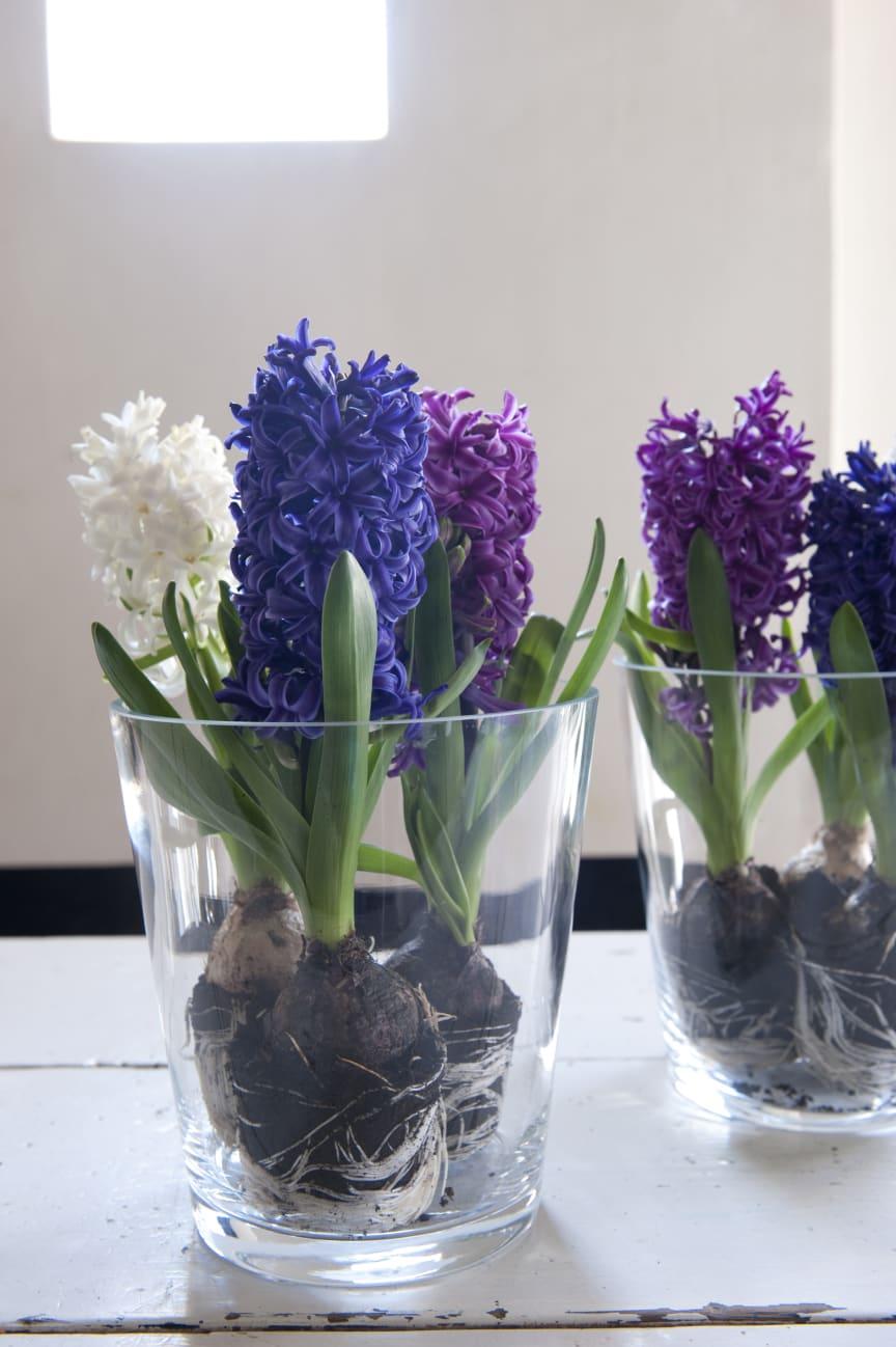 Hyacinter i glas