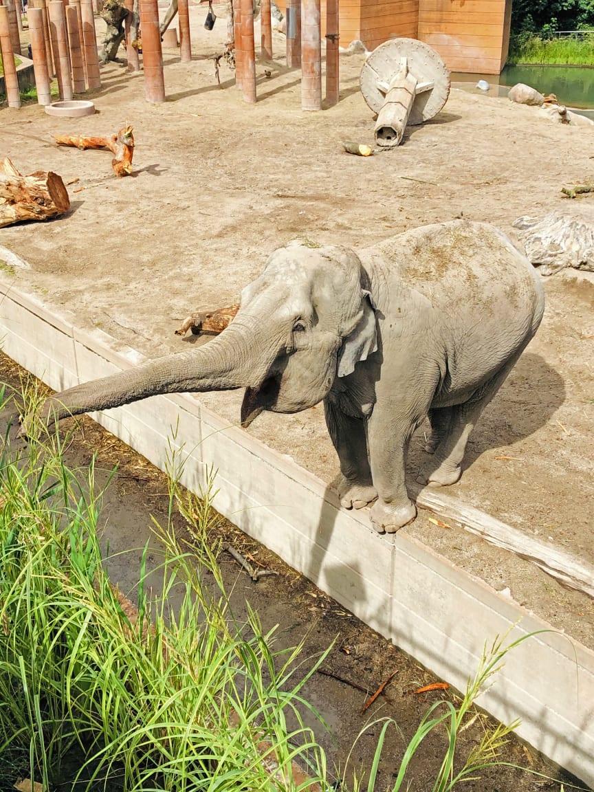 En nysgerrig elefant i Zoo