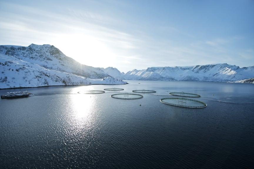 Laksemerder - salmon cages