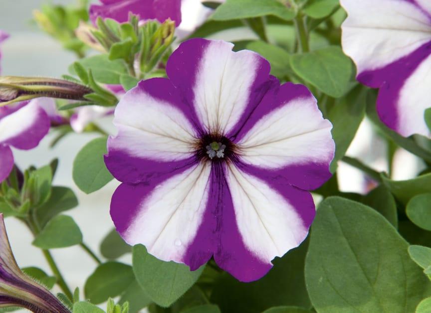 Petunia Swirl