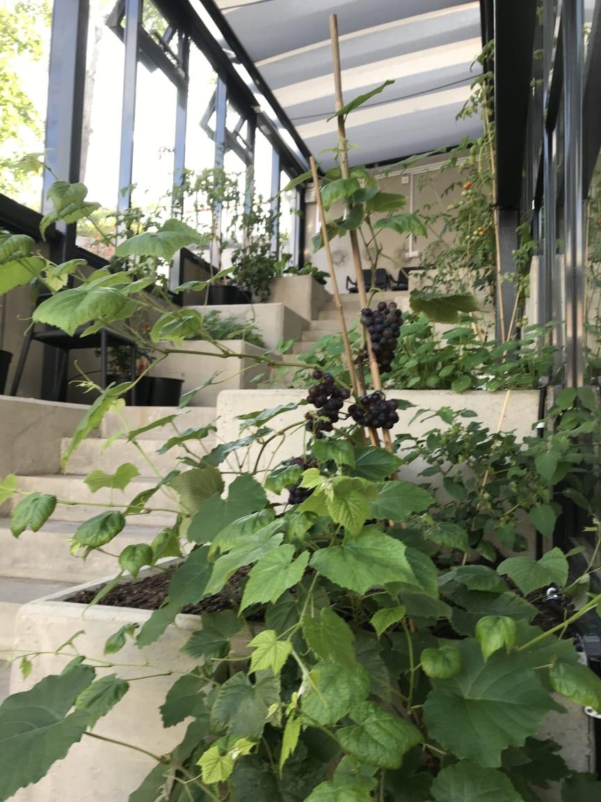 Växthus, vindruvor, Brf Viva