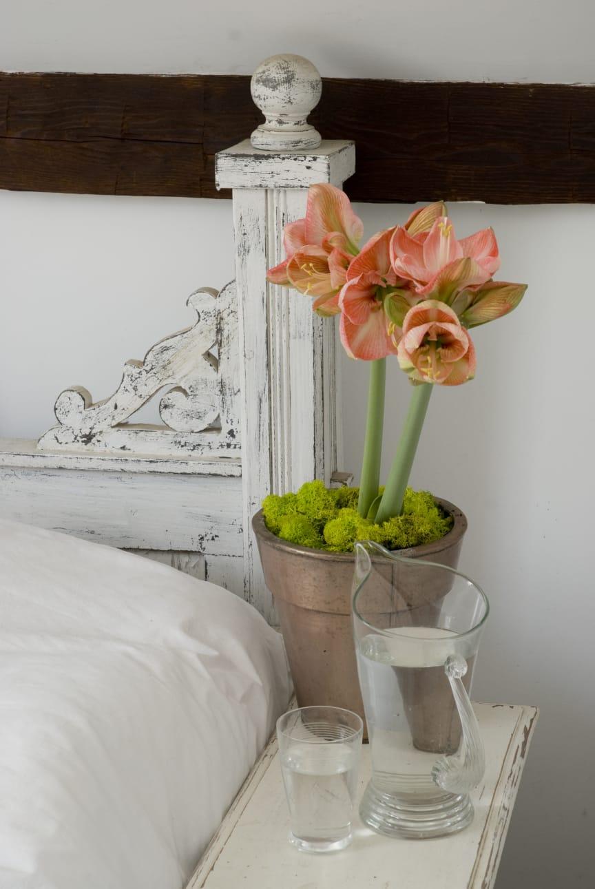 Laxrosa amaryllis i kruka