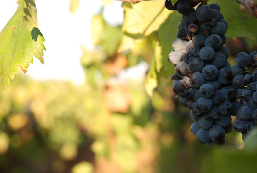 Druvor i Toscana