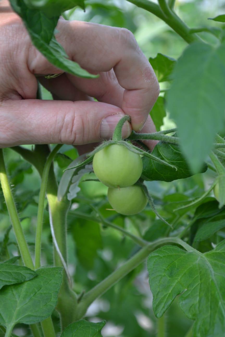 Omogen tomat