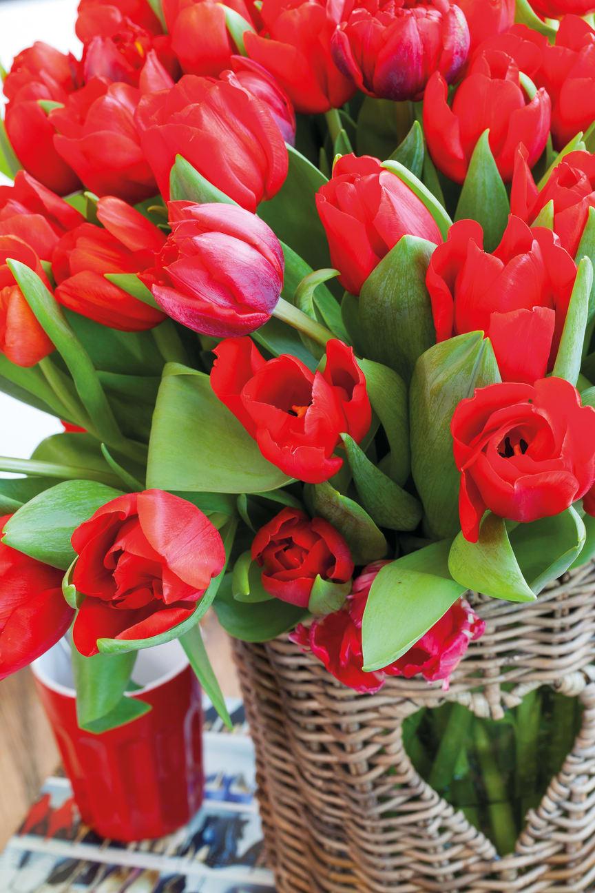 Röda tulpaner inför alla hjärtans dag.