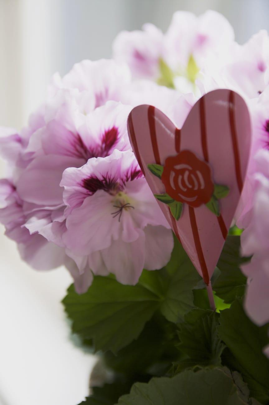Engelsk pelargon med rosa hjärta