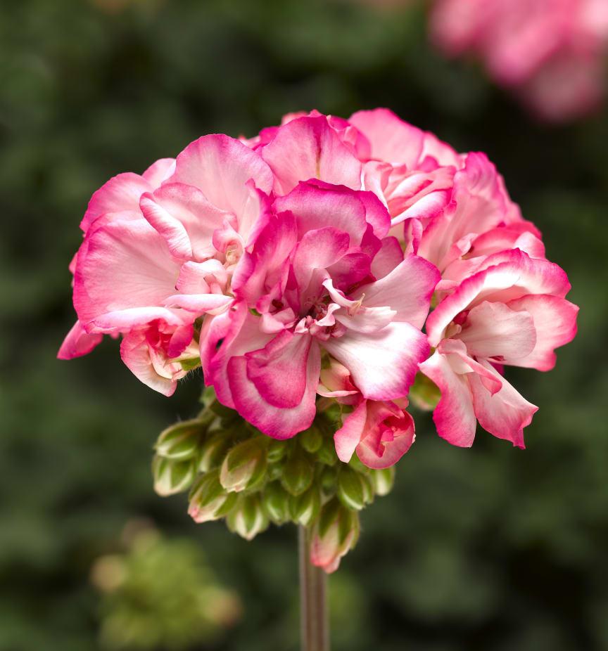 Pelargonium zonale Bunny Strawberry Ice:
