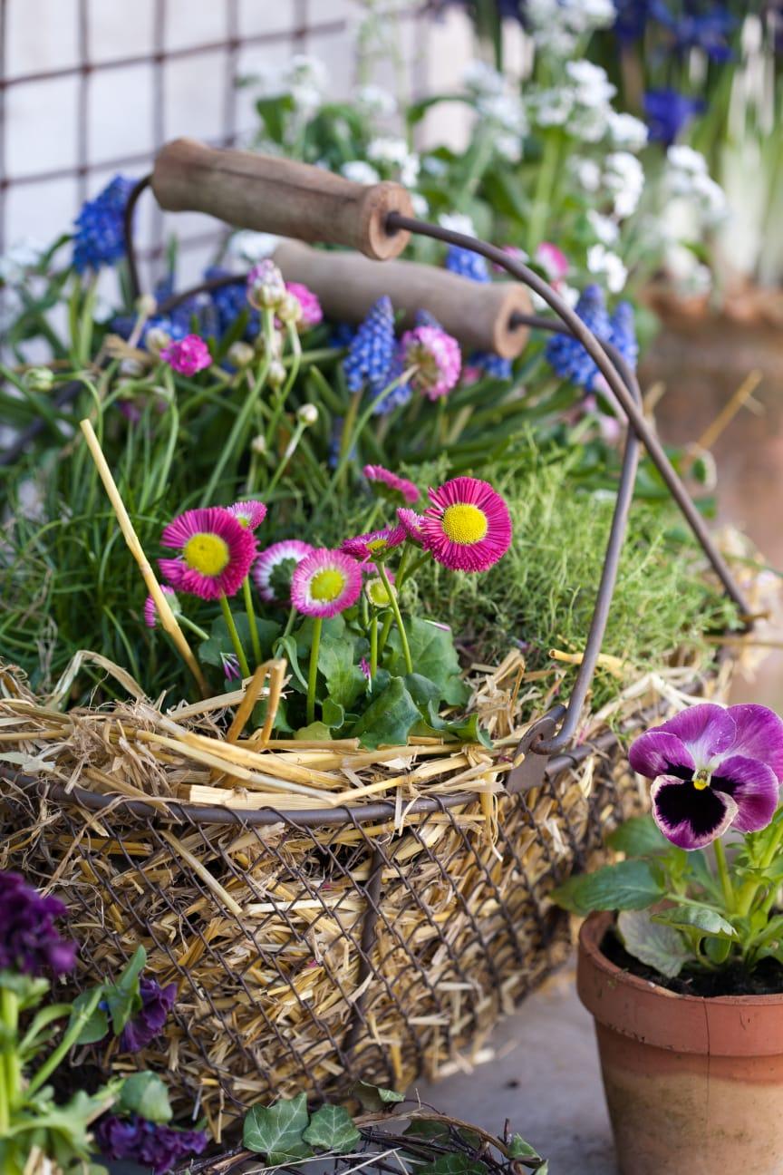 Tusensköna och andra vårblommor i korg