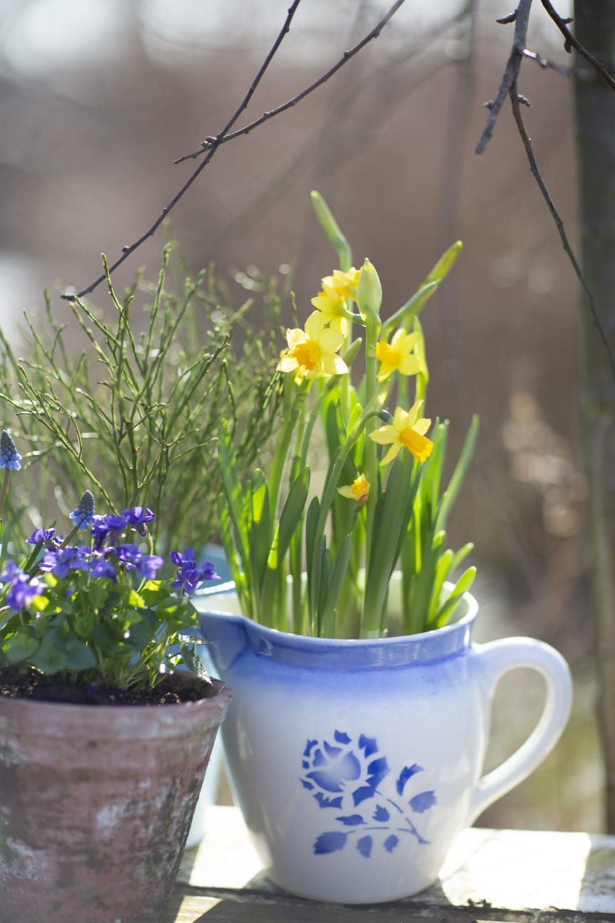 Minipåskliljor utomhus