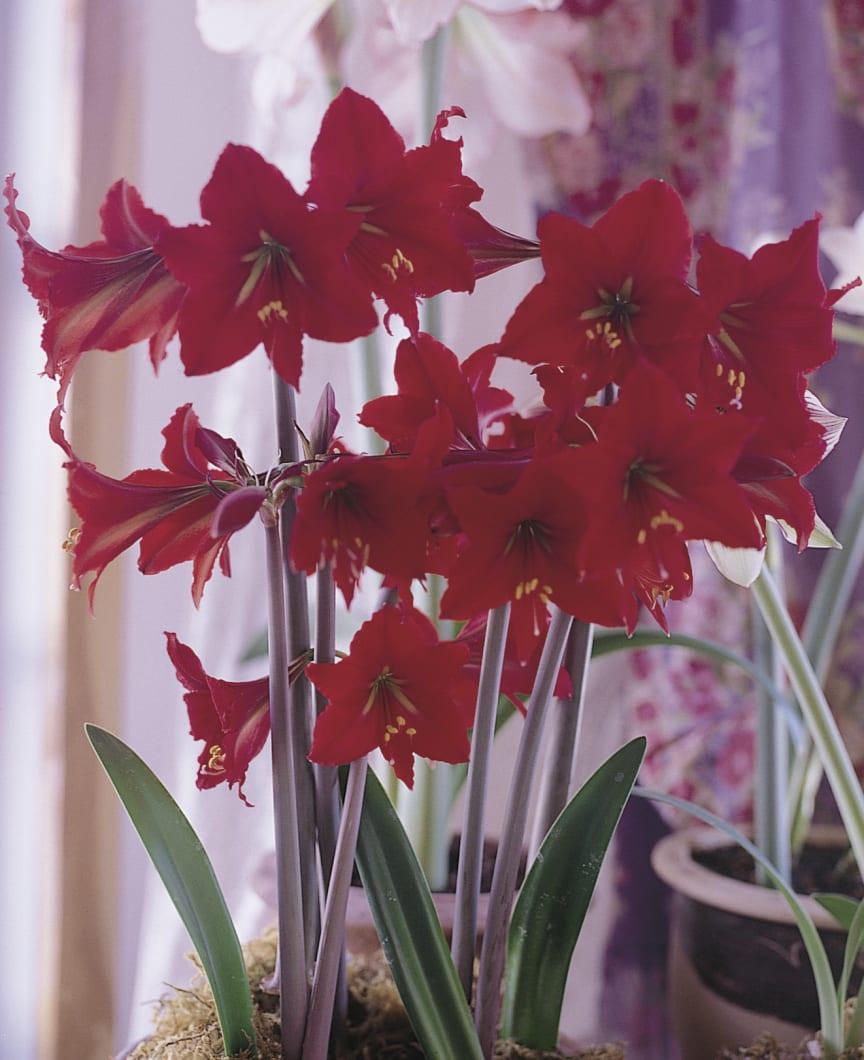 Amaryllis, Hippeastrum, 'Scarlet Baby'