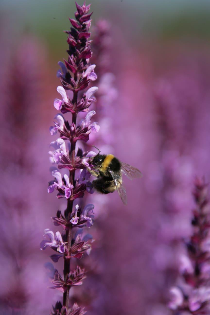 Humlor gynnas av mer blommande växter kring åkern