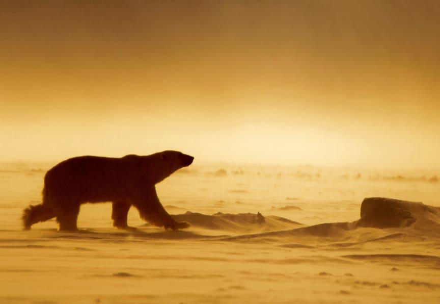 Polar bear midnight sun