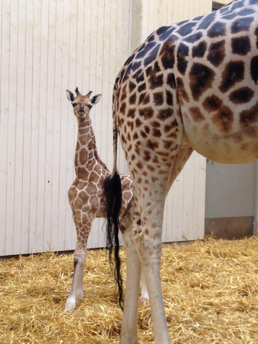 Nyfödd giraffkalv i Borås Djurpark.