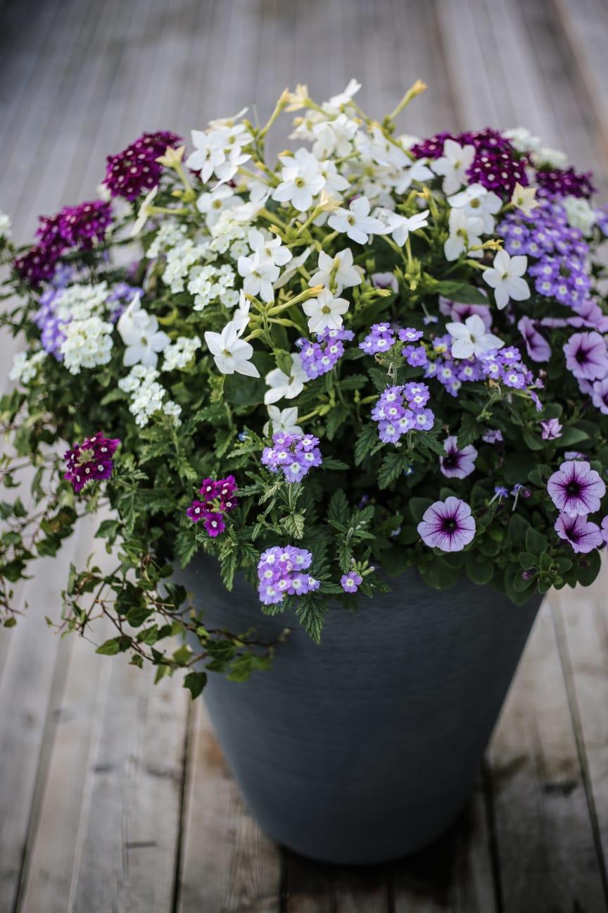 Blomstertobak, trädgårdsverbena, petunia, murgröna