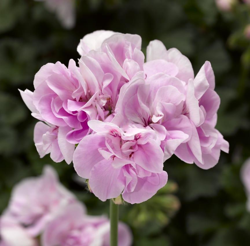 Pelargon Calliope M Light Lavender