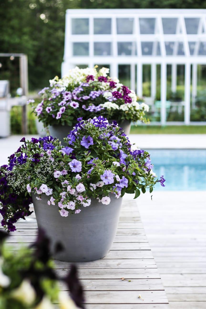 Petunia, olika sorter samt snötörel