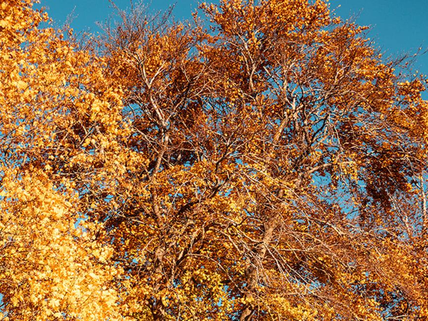 Trädtopp