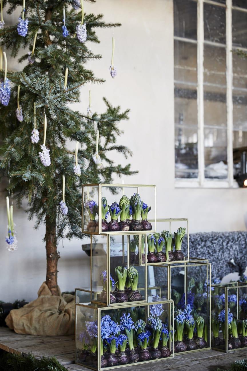 Julstämning hos Anna Gouteva med svenska hyacinter och andra julblommor