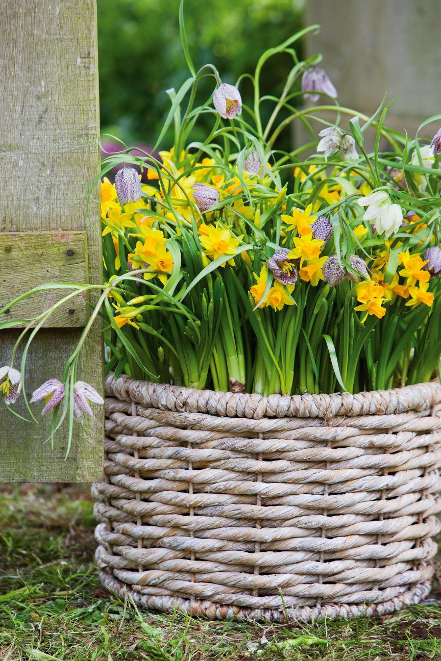 Narcissus 'Tête-à-tête' och kungsängslilja