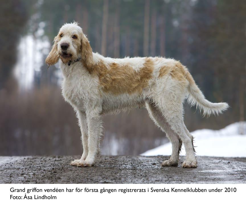 Ny ras i Sverige 2010 - grand griffon vendéen