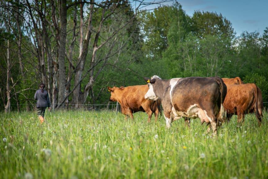 Grazing Cattle in Estonia