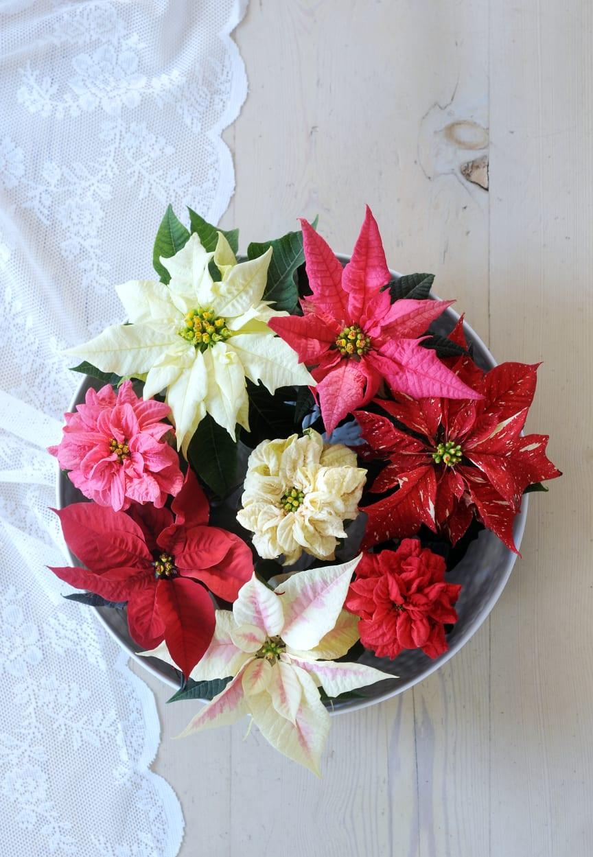 Blandade julstjärnor 2012