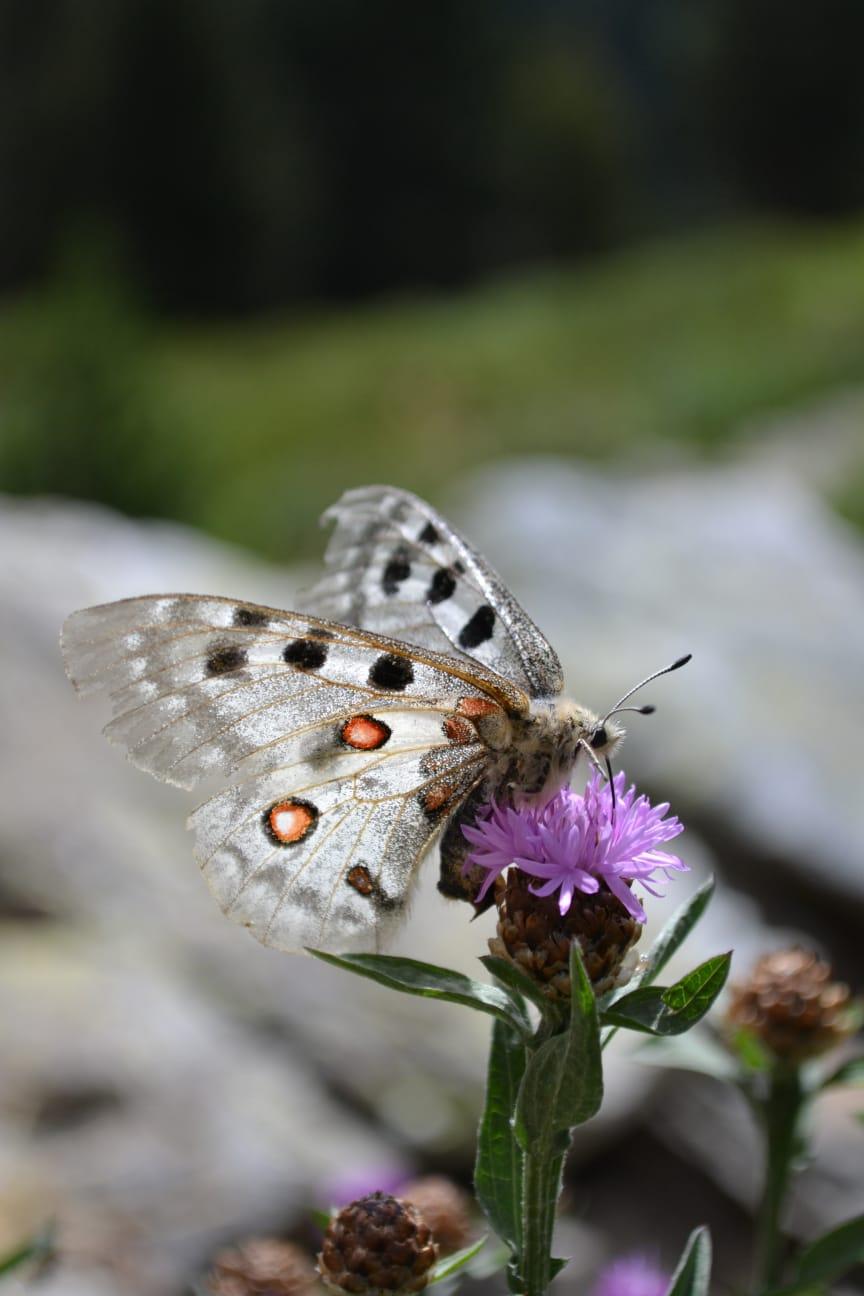 Fjärilar trivs i värme.