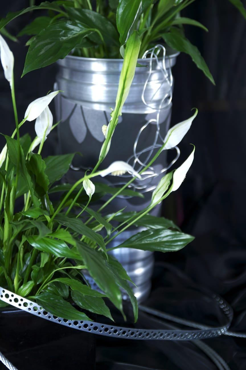 Fredskalla Spathiphyllum wallisii metallbandsdekor