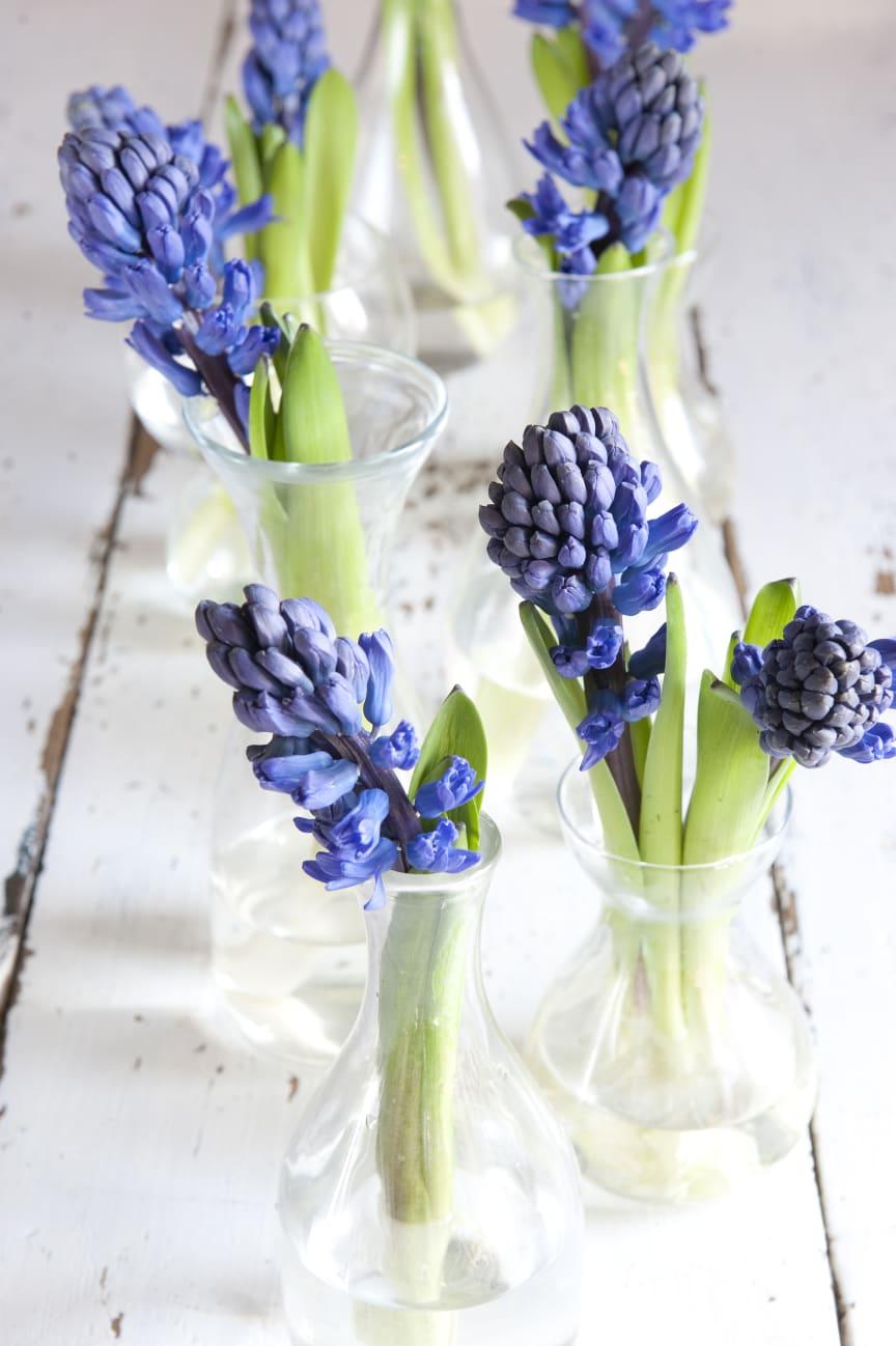 Blå hyacinter i vaser