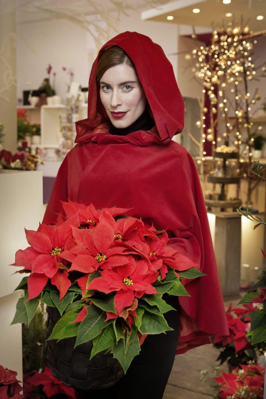 Rödluvan med julstjärnor