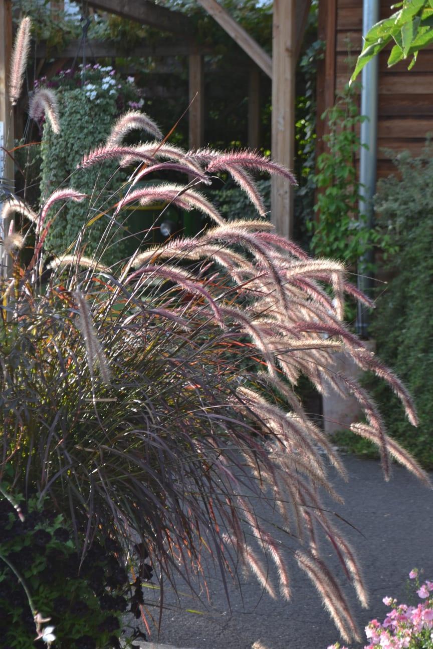 Prydnadsgräsen är vackra på hösten när de får ax och vippor