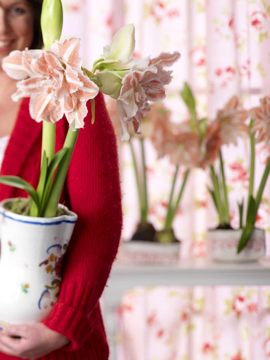 Rosa amaryllis