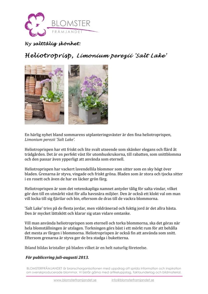 Ny salttålig skönhet: Heliotroprisp, Limonium perezii 'Salt Lake'