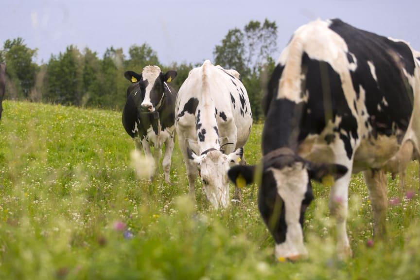 Betande kor skapar biologisk mångfald