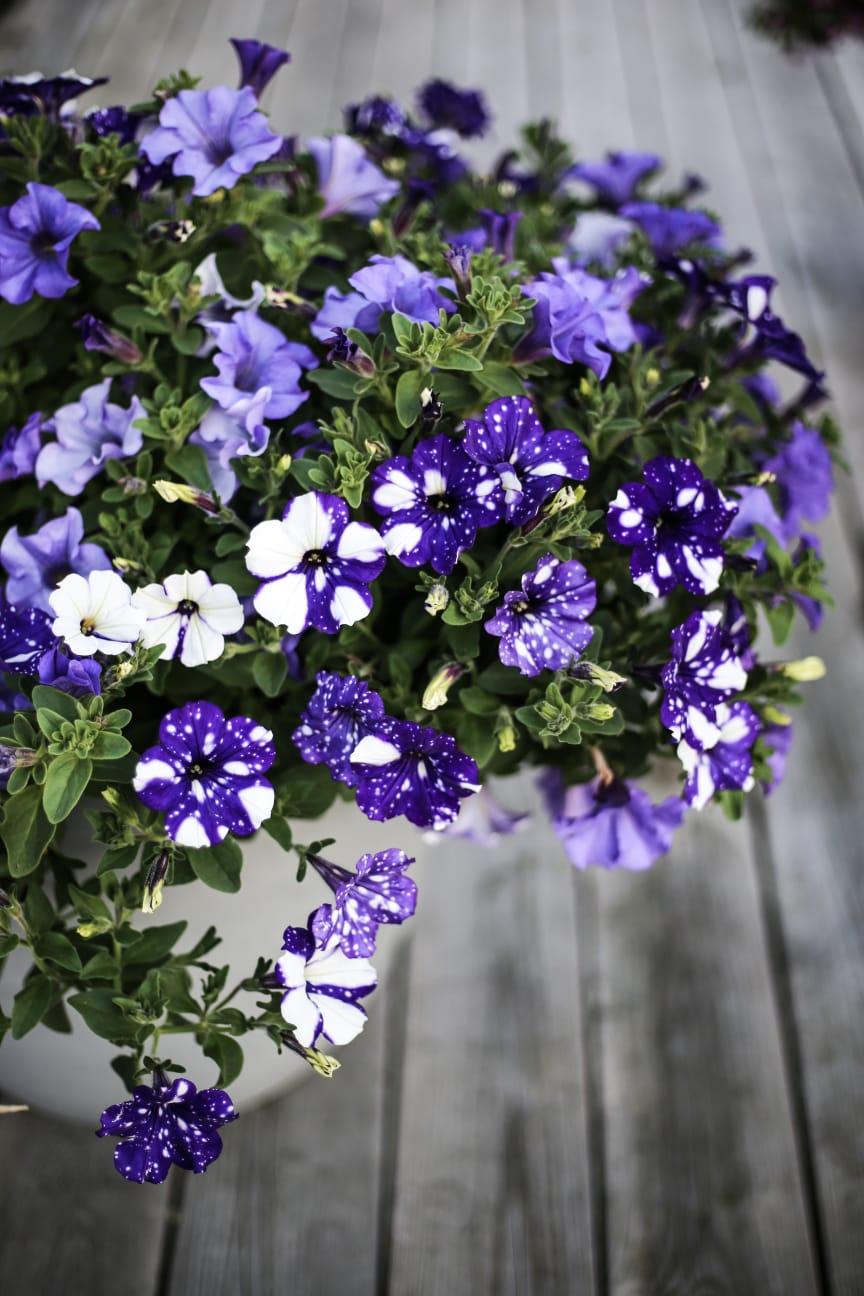 Petunia, blåa nyanser