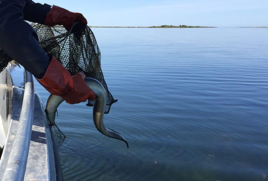 Stopp för fisket för att skydda den hotade ålen