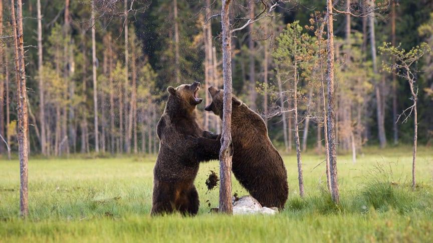 Bråkiga björnar_16.9.jpg