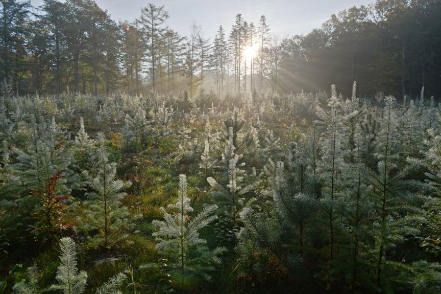 Svanninge Bjerge, sol igennem træer