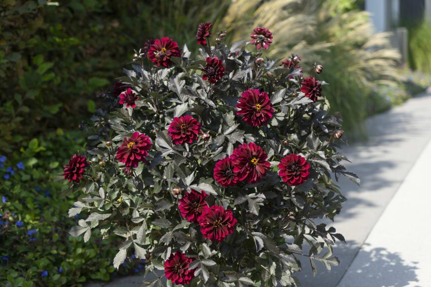 Mörkbladiga dahlior, Dahlia x hybrida  Dark Dalaya Amba