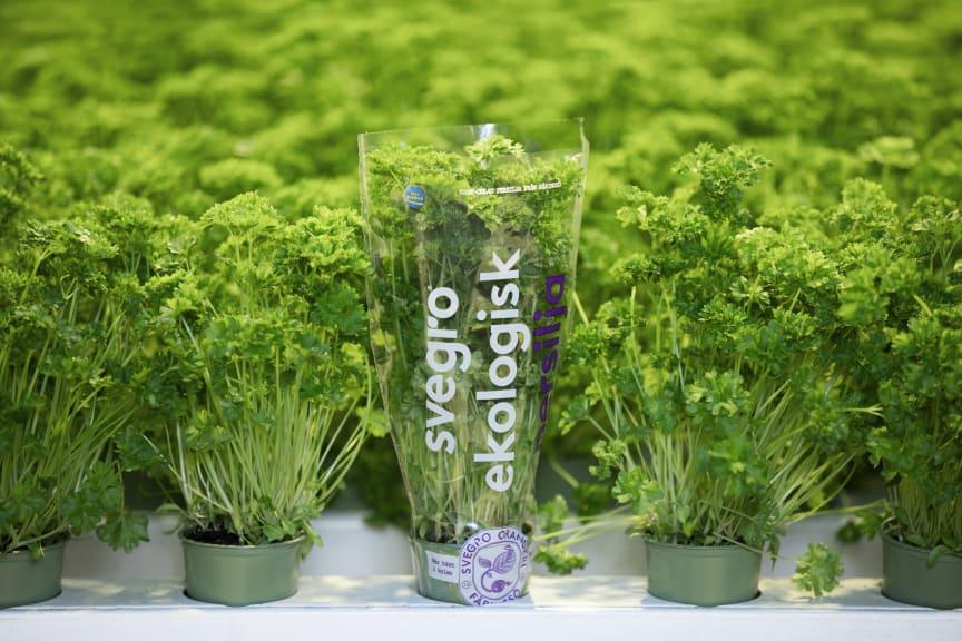 Svegros ekologiska örter lanseras nu med en mer miljövänlig kruka i cirkulär plast