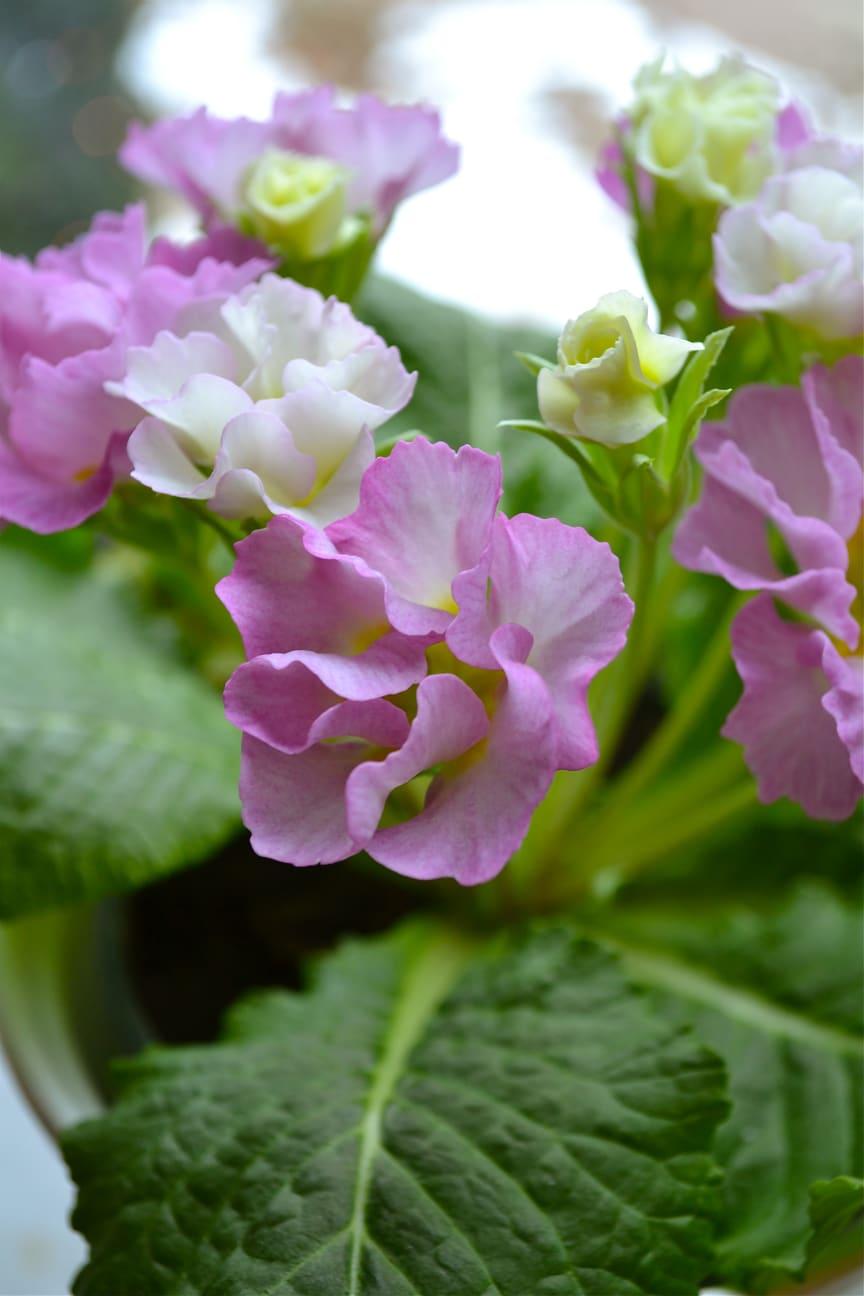 Primula 'Suze' på fönsterbrädan