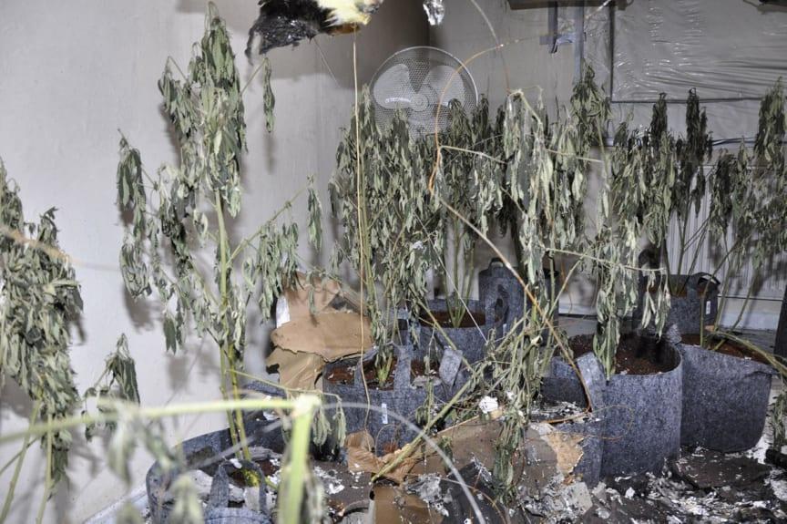 Cannabis farm Riding Close St Helens