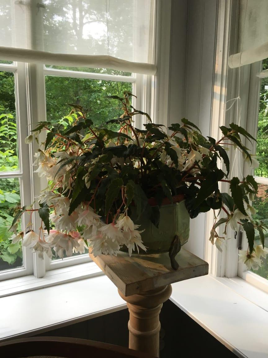 Begonia med stil